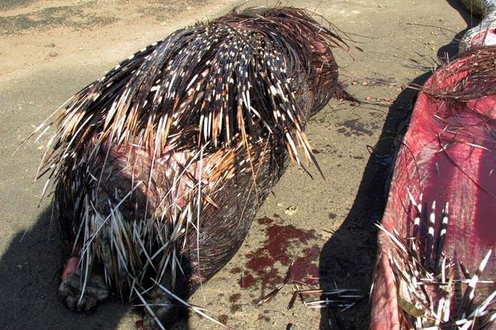 Python Dies Eating a Porcupine