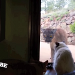 cat and mountain lion