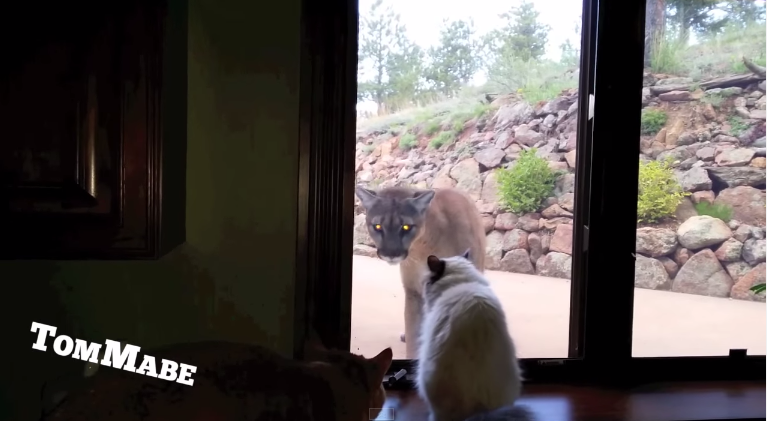cat versus mountain lion