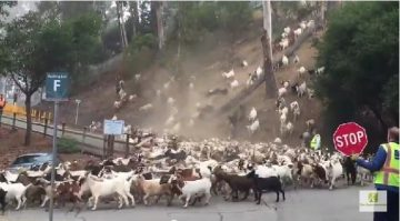 goats out in this viral video