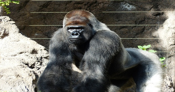 Giant Male Gorilla Attracting Women Who Think He is a Hunk!