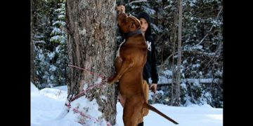 biggest-pitbulls-in-the-world