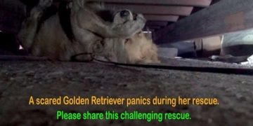 scared-golden-retriever